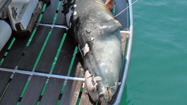 Σκότωσαν με ψαροντούφεκο τη διάσημη φώκια-μασκώτ της Αλοννήσου, Κωστή